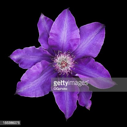 Purple clematis flower in bloom isolated on black background : Stock Photo