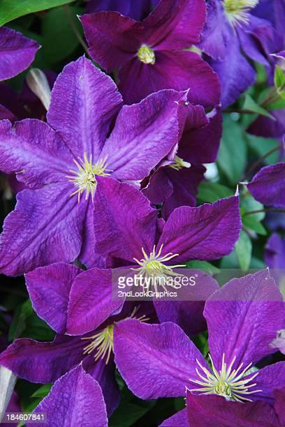 Viola Clematide