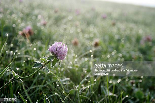 Purple clover meadow, early morning dew