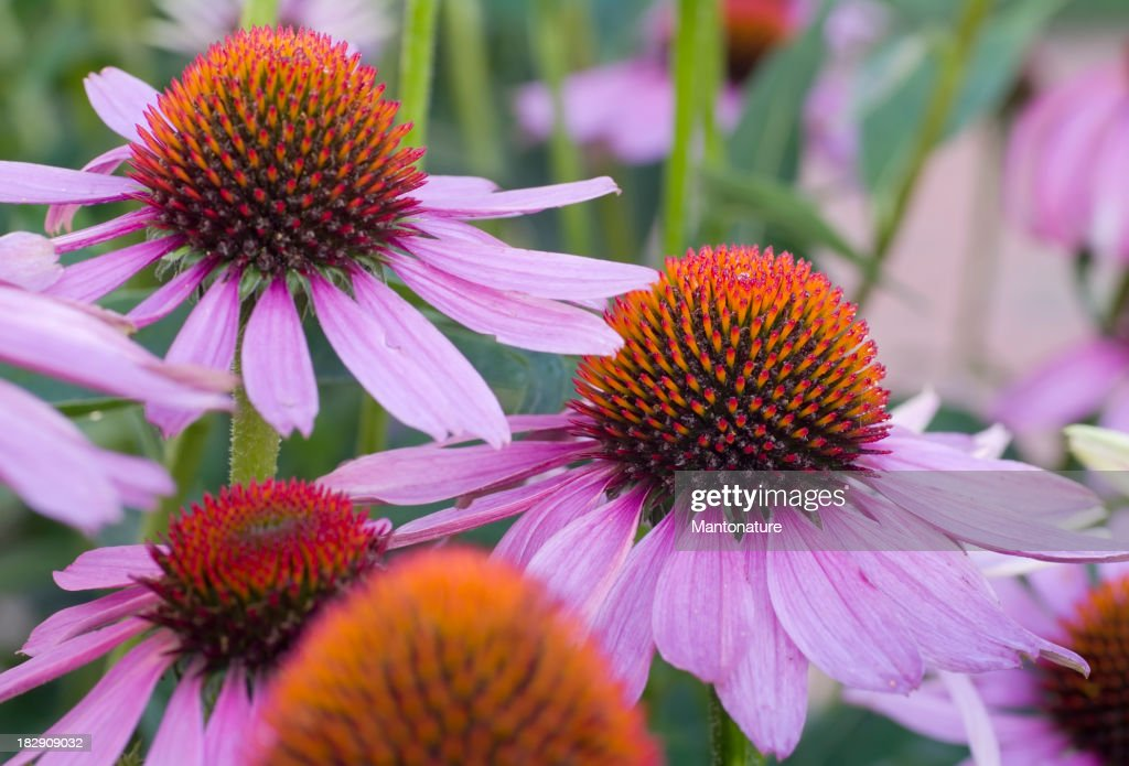 Purple Cone Flower (Echinacea purpurea)