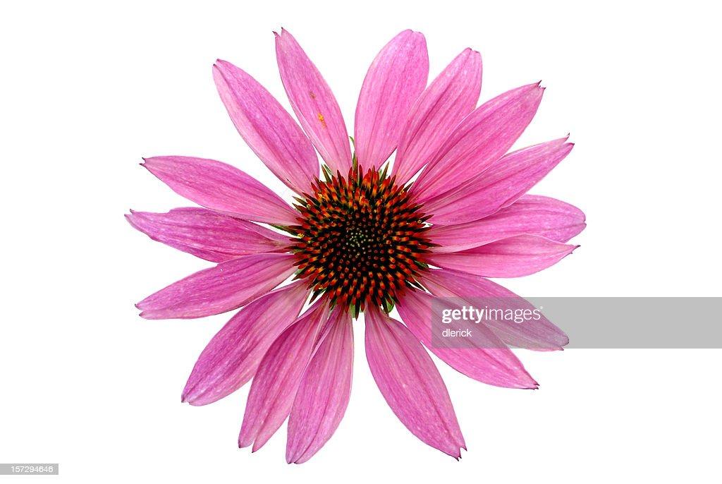 purple coneflower-echinacea-full