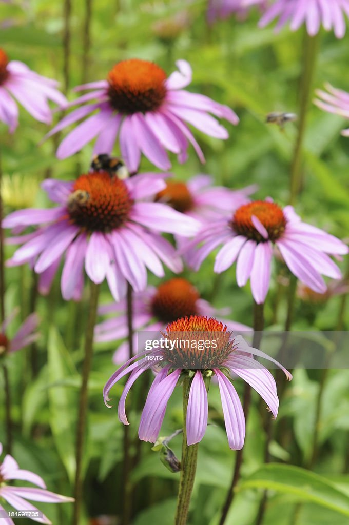 purple coneflowers (Echinacea)