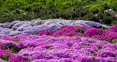 Purple creeping phlox, on the flowerbed. The ground cover is used in landscaping when creating alpine slides and rockeries.