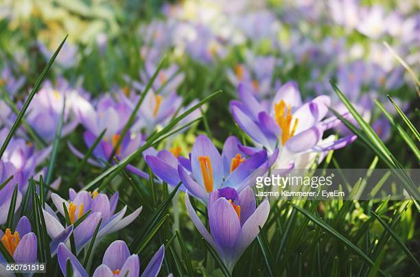 Purple Crocus Blooming On Field