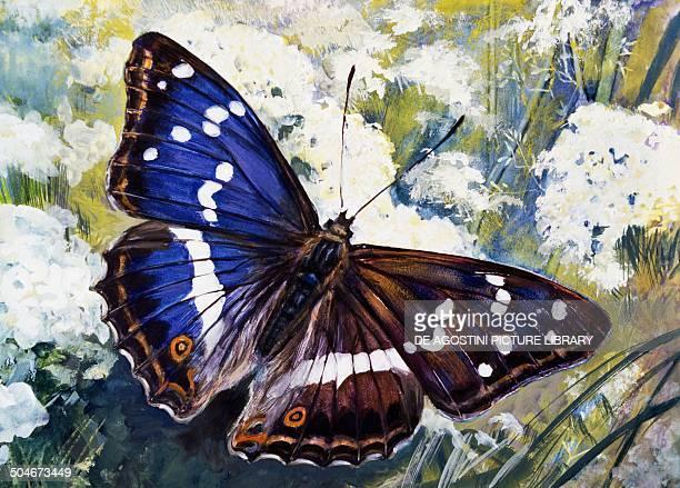 Purple Emperor Nymphalidae drawing