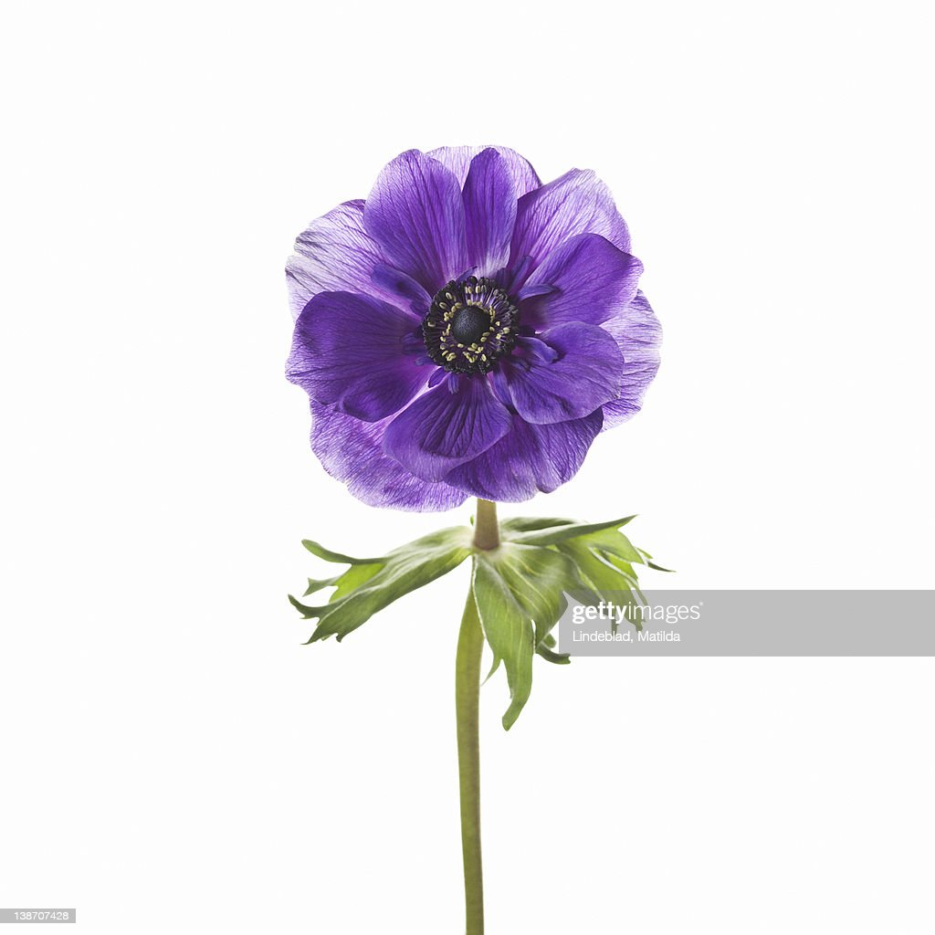Purple flower against white background, close-up