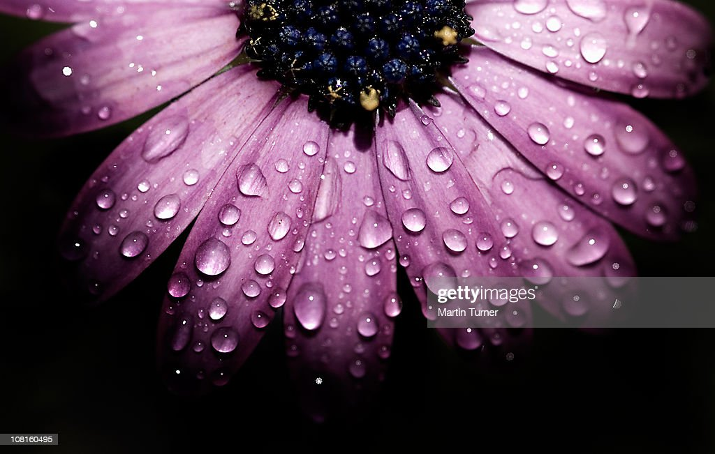 Purple flower, macro : Stock Photo