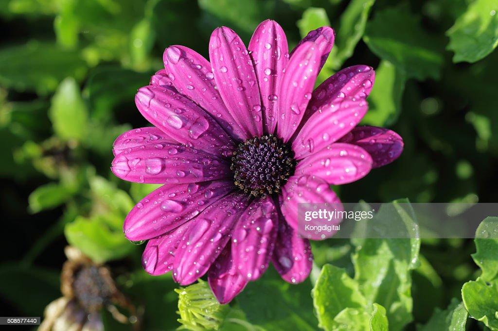 purple flower : Stock-Foto