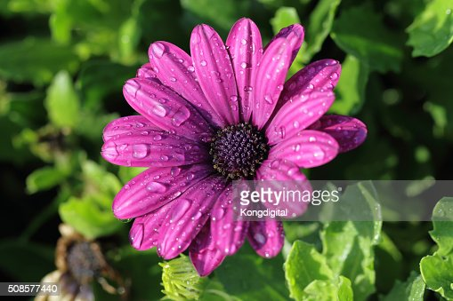 purple flower : Stock-Foto