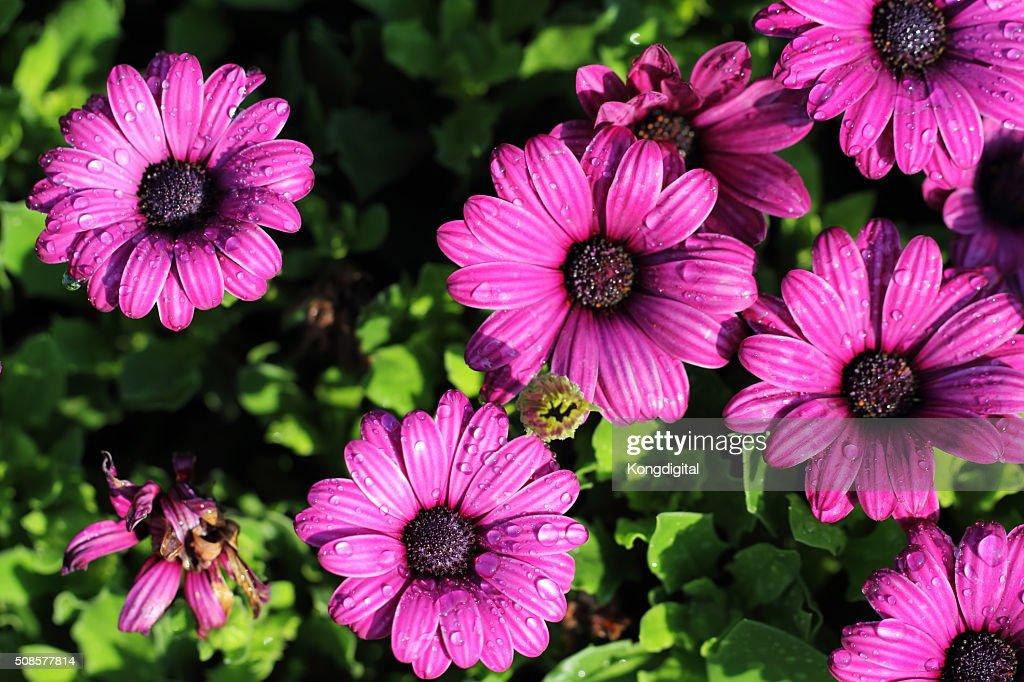 パープルの花 : ストックフォト