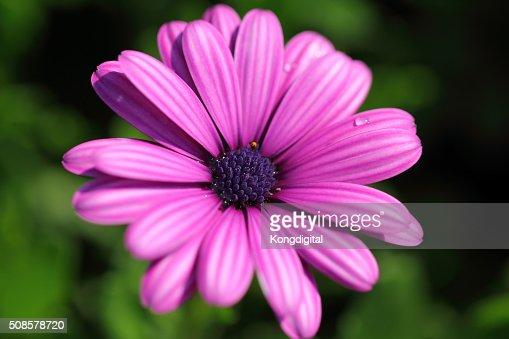 purple flower : Stockfoto