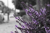Purple flower selective color