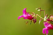 Purple flower (Himalayan Balsam, Impatiens glandulifera) with a wasp on green background