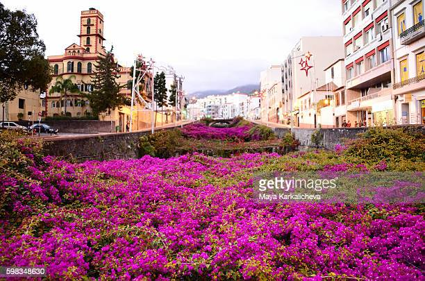Purple flowers around the streets of Funchal