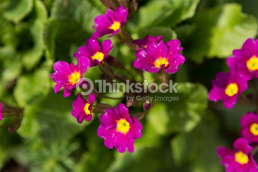 Purple flowers with yellow center stock photo thinkstock purple flowers with yellow center mightylinksfo