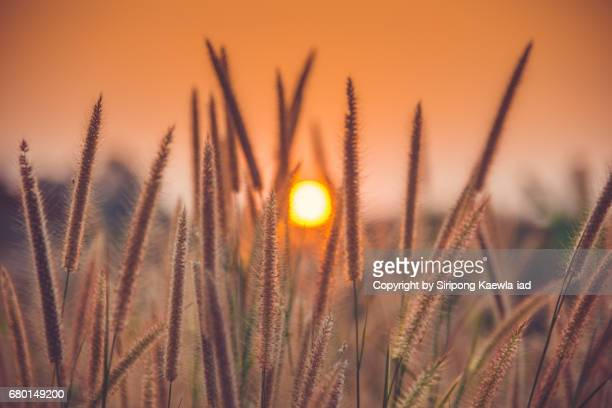 Purple Fountain Grass (Pennisetum Setaceum) during the sunset.