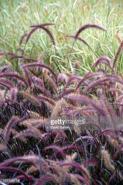 Purple fountain grass (Pennisetum setaceum) 'Rubrum', September