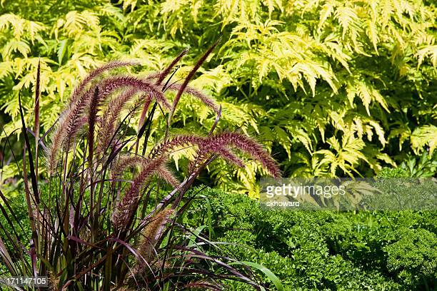 Purple Fountain Grass with Parsley and Elderberry