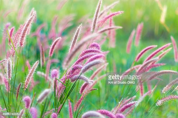 Purple Fountain Grasses filed