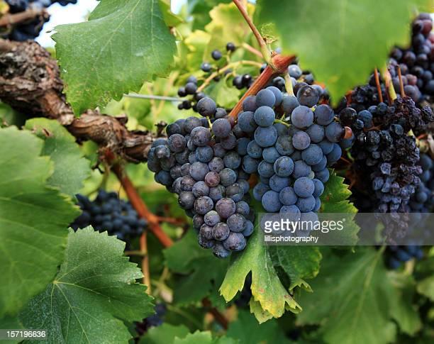 Púrpura uvas en Vineyard Provence, Francia