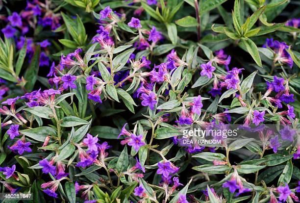 Purple Gromwell Boraginaceae