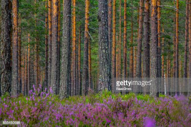 Purple heather in the forest