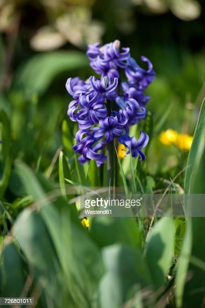Purple hyacinth in a garden