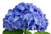 Purple hydrangea flower close-up isolated on white background.
