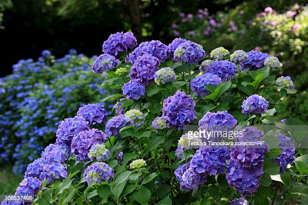 hydrangea stock photos and pictures  getty images, Natural flower