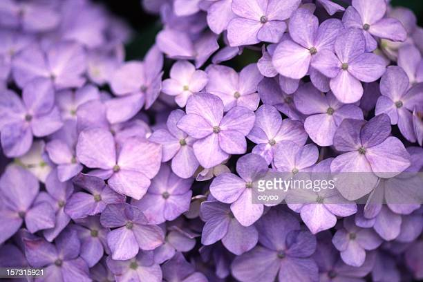 Purple Hortensie