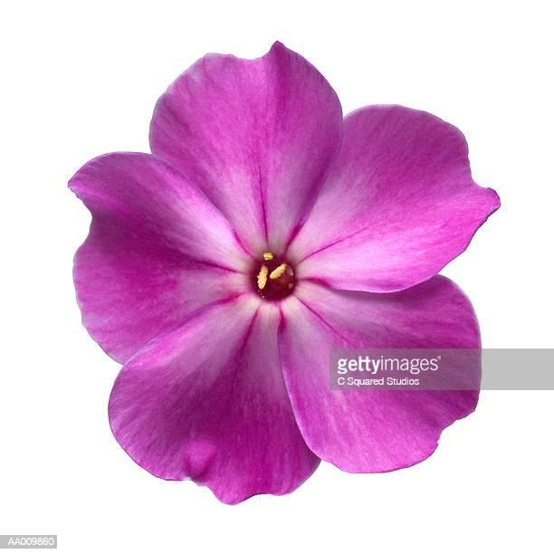 Purple Impatiens Close-up