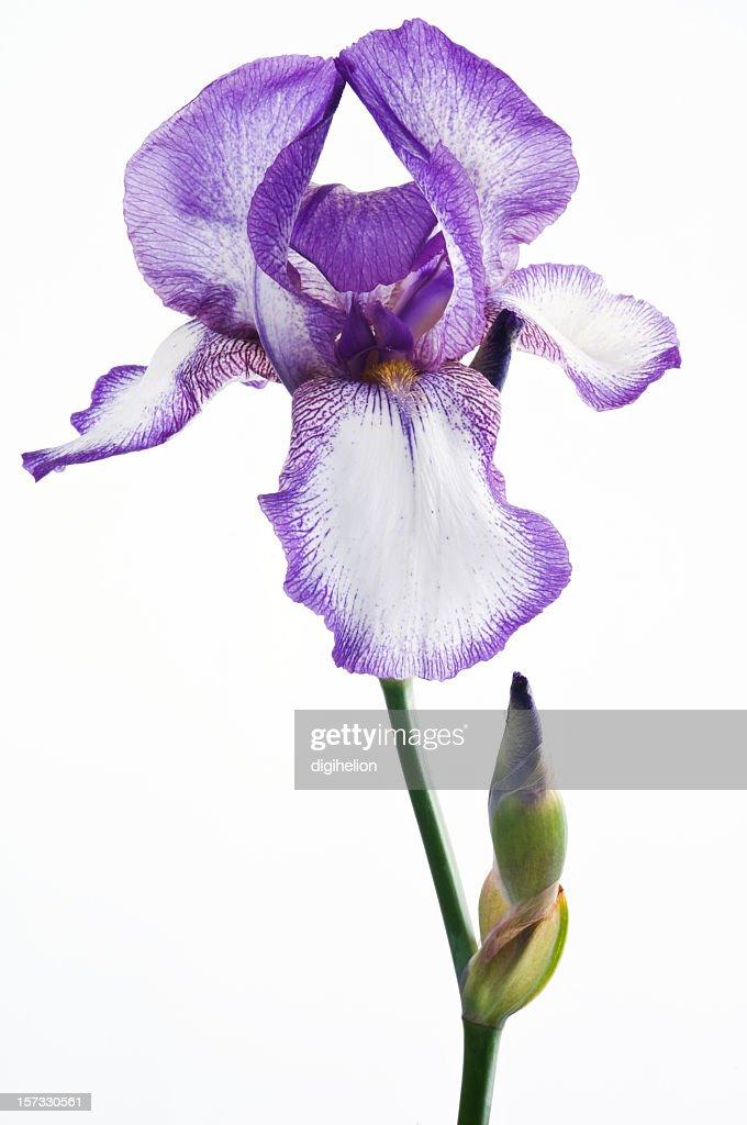 Purple iris flower on white background
