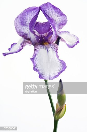 purple iris flower on white background stock photo  getty images, Beautiful flower