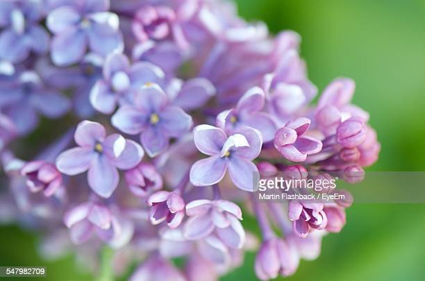 Purple Lilac Blooming Outdoors