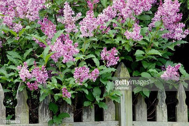 Lila Flieder neben einem Zaun.