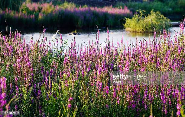 Purple Loosestrife at the Pond