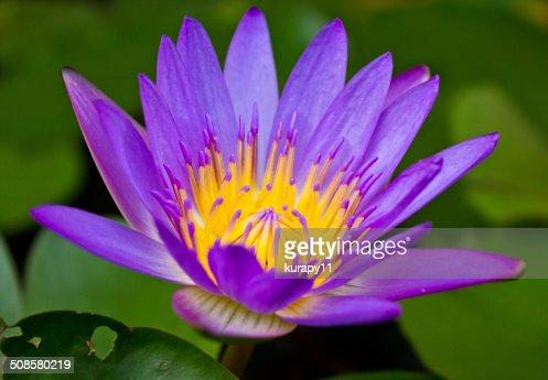 Viola Fiore di loto con giallo polline. : Foto stock