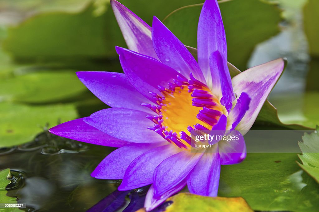Purple lotus flower with yellow pollen. : Stockfoto