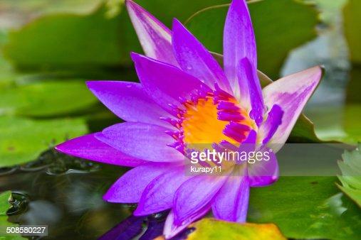 Purple lotus flower with yellow pollen. : Bildbanksbilder