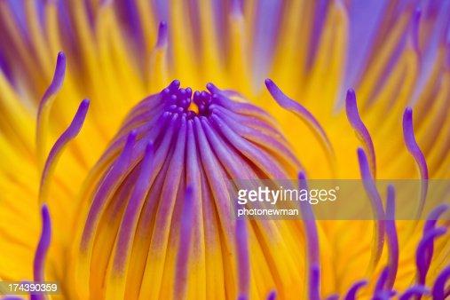 Purple lotus : Stock Photo