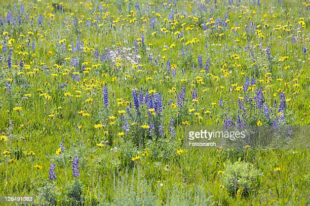 Purple lupine and spring flowers