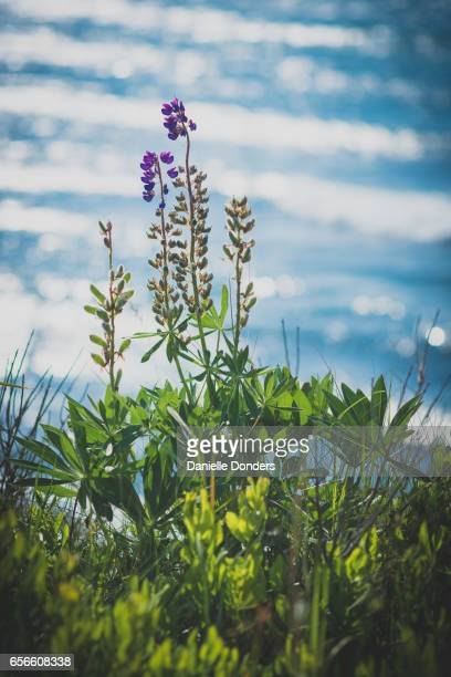 Purple lupins (Lupinus luteus) by the sea