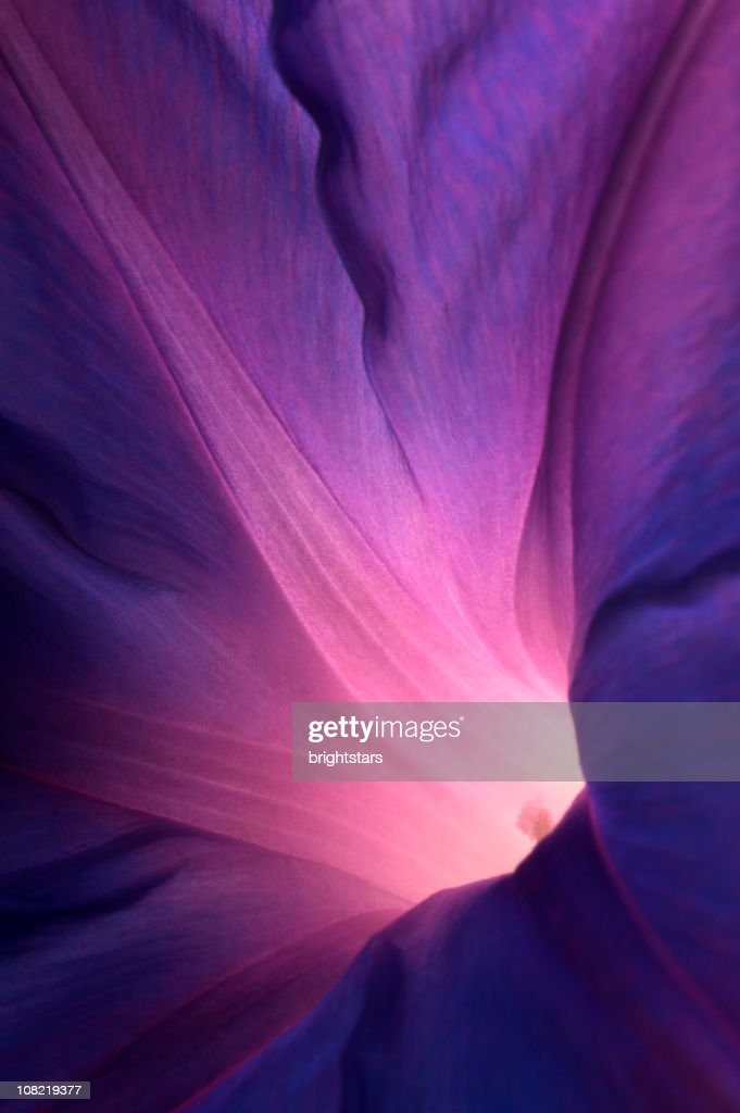 Purple morning glory flower : Stock Photo