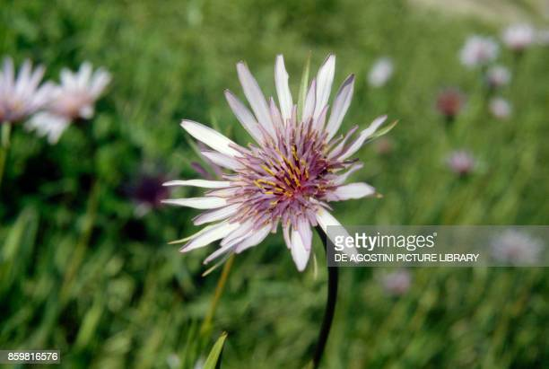 Purple or common salsify flower Asteraceae