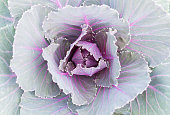 Violet or purple Cabbages for design. Cabbages background in garden. Beautiful ornament Cabbages in natural. Fresh Kale Cabbages