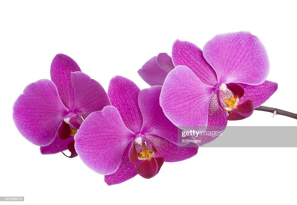 Purple Orchid (Phalaenopsis) : Stock Photo