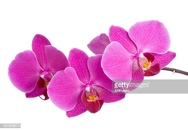 Purple Orchid (Mother