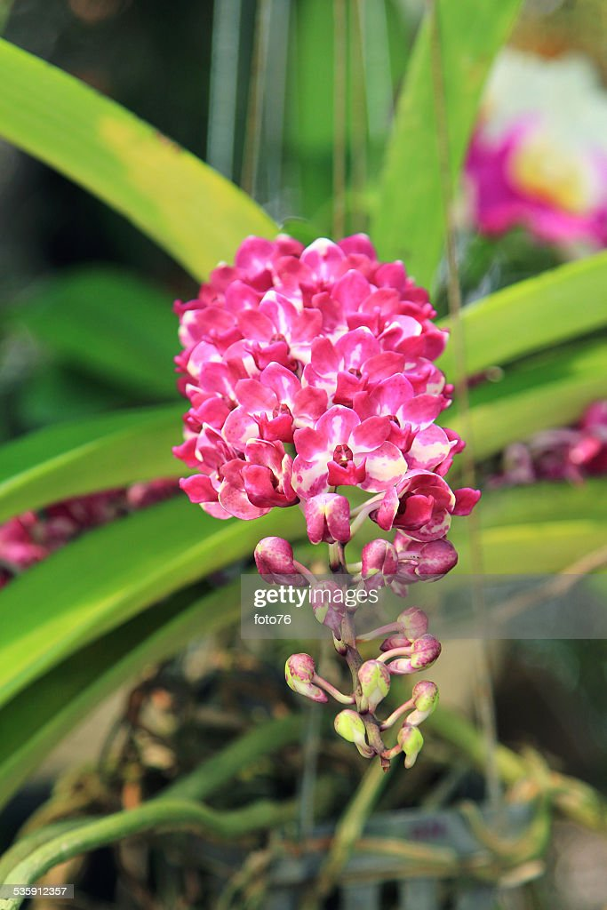 Orquídea roxa : Foto de stock