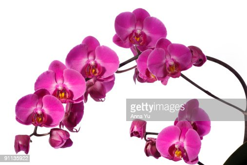 Purple Orchid : Stock Photo