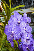 purple orchids beauty hanging in garden Thailand